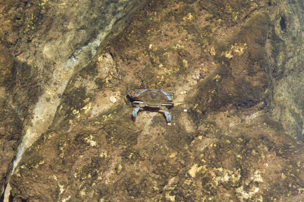 blue crab walking on large underwater rocks found while snorkeling