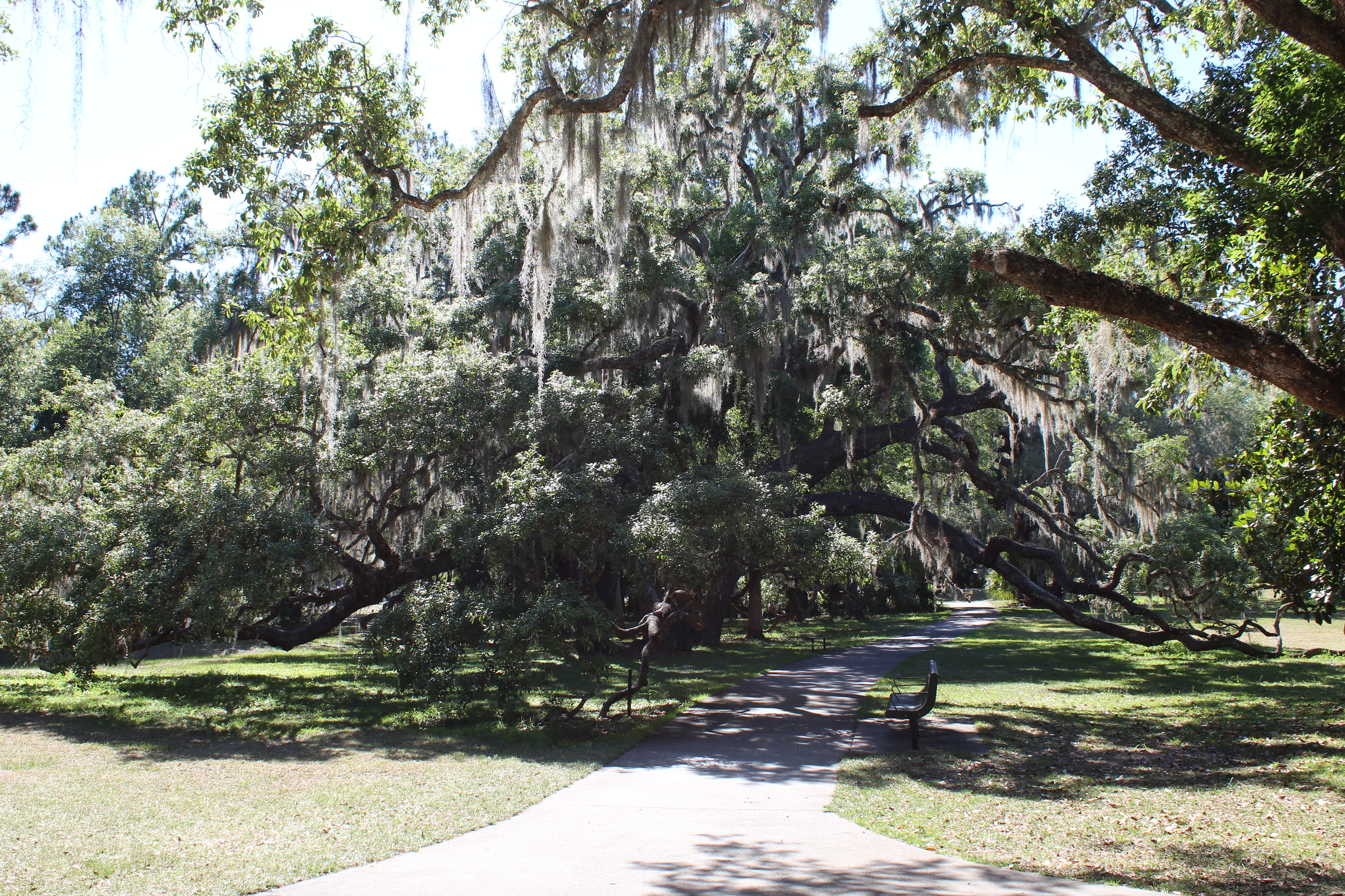 large oak trees with branches coming over walkway