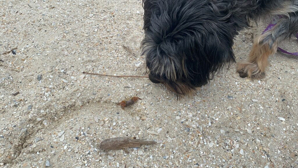 Dog sniffing a crab