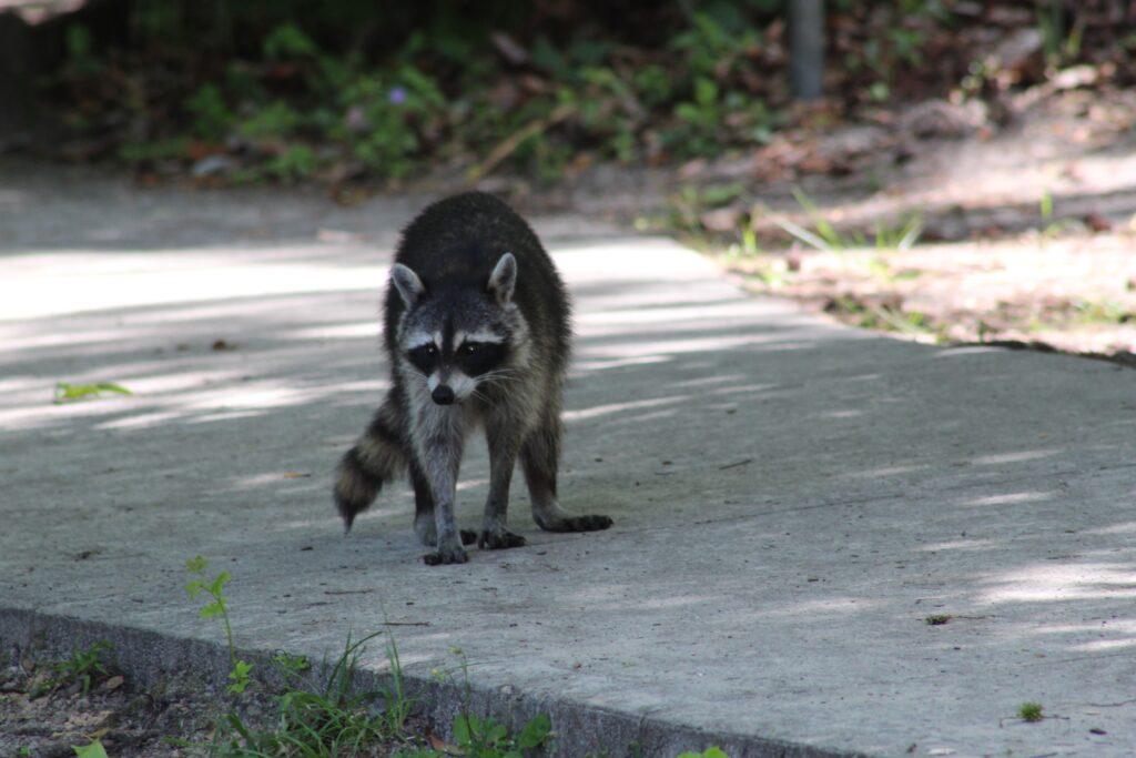 Raccoon on sidewalk
