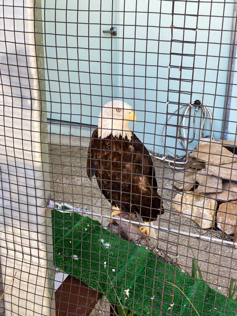 Calusa Nature Center Bald Eagle