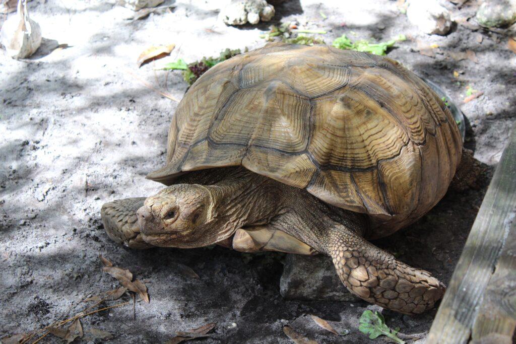 Calusa Nature Center Turtle