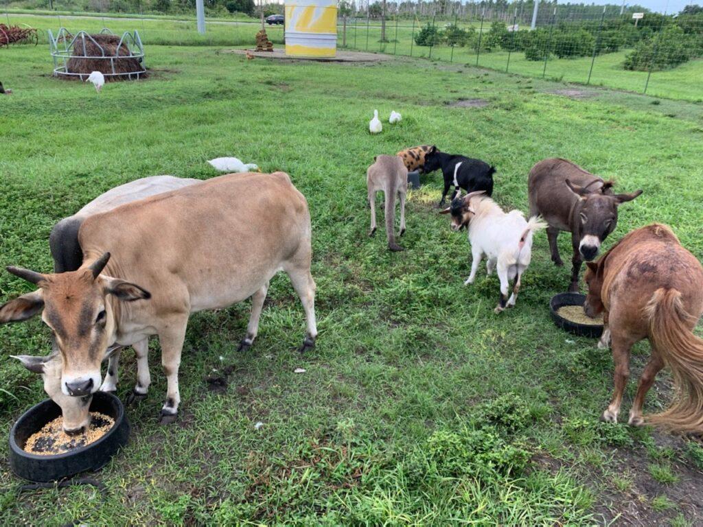 Farm-Animals at Showcase of Citrus