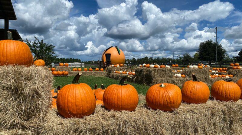 Pumpkin patch at Sunsational Farms