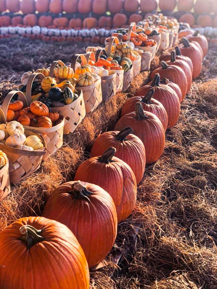 Pumpkins at Southern Hill Farms