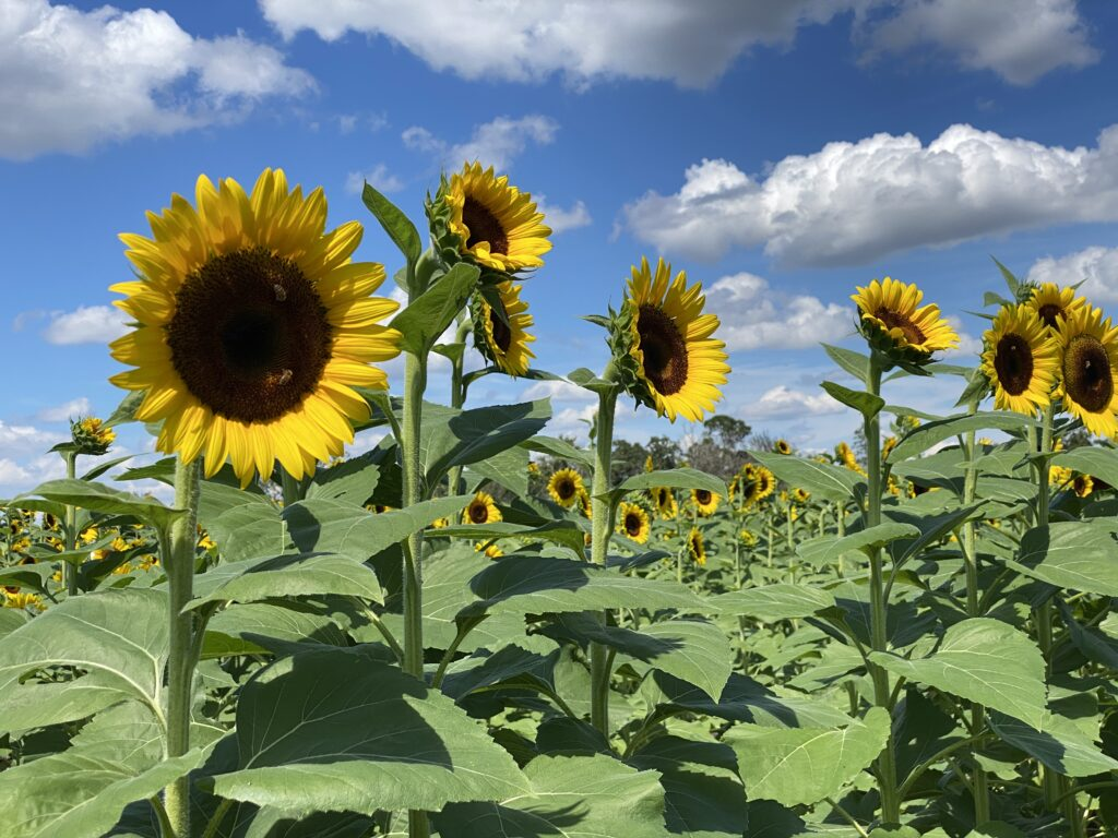 Sunflower field at Atwood Farms family fun around lake county