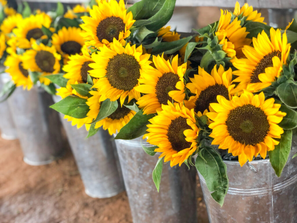 Sunflowers to purchase at Southern Hill Farms