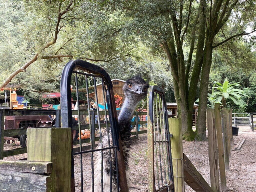 Emu at Lil' Bit of Life Farm