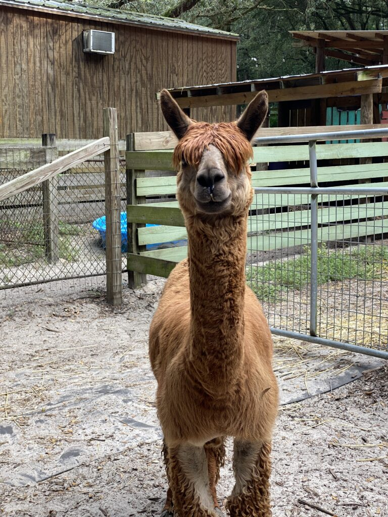 Alpaca at Lil' Bit of Life Farm